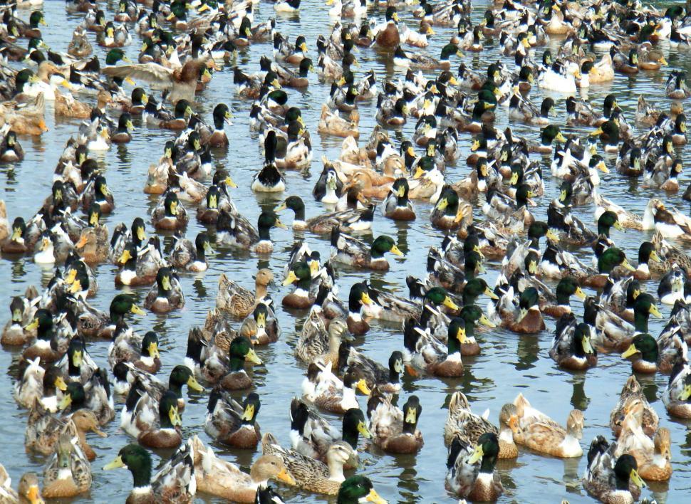 Download Free Stock HD Photo of Duck herding Online