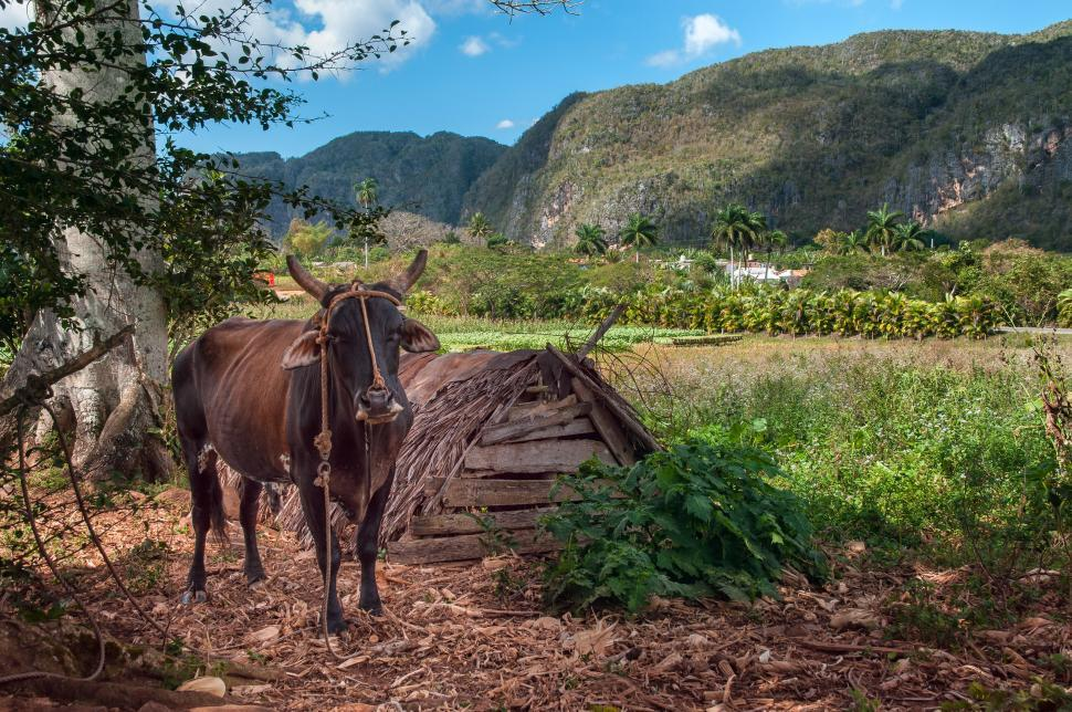 Download Free Stock HD Photo of Lifestock in Cuba Online