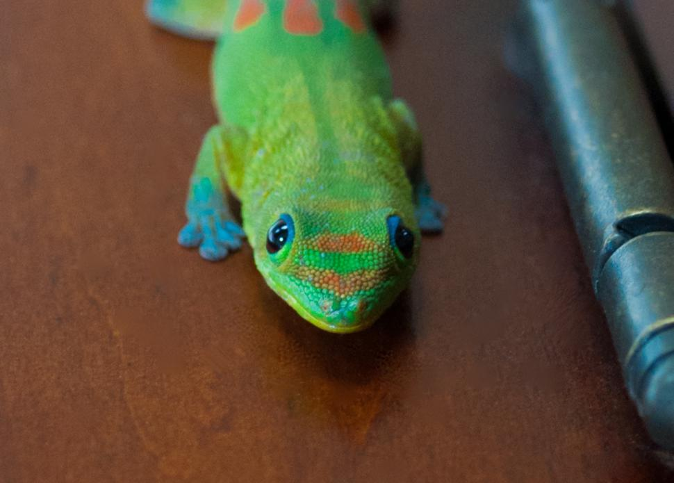 Download Free Stock HD Photo of Gecko Online