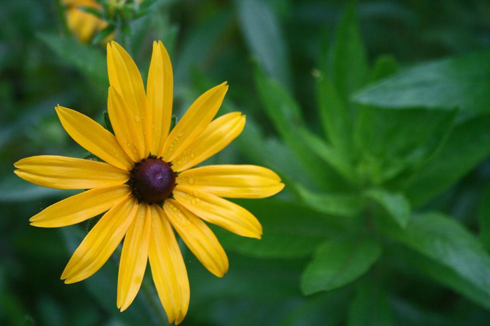 Download Free Stock HD Photo of Black-Eyed Susan Close Up Online