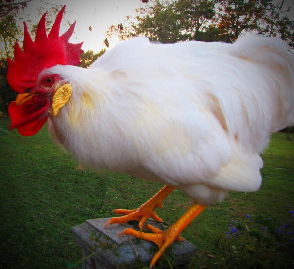 Download Free Stock HD Photo of White Rooster Online