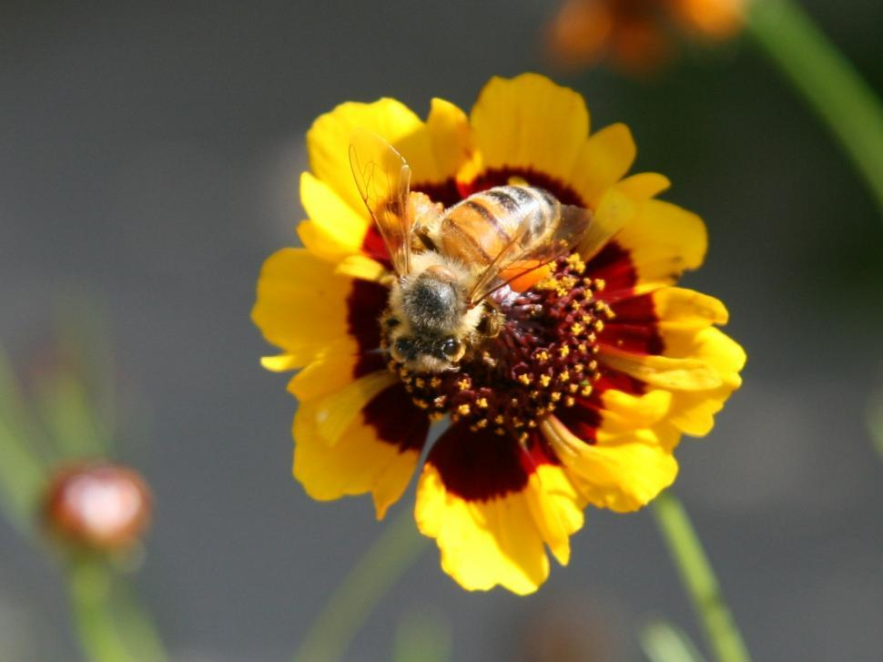 Download Free Stock HD Photo of Honey Bee Online