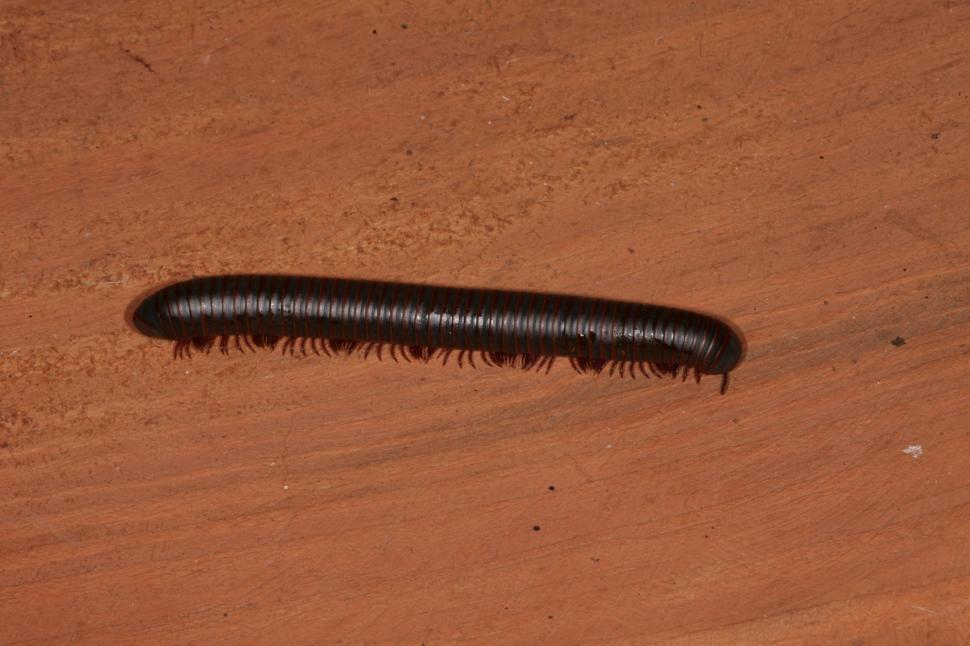 Download Free Stock HD Photo of Millipede macro Online