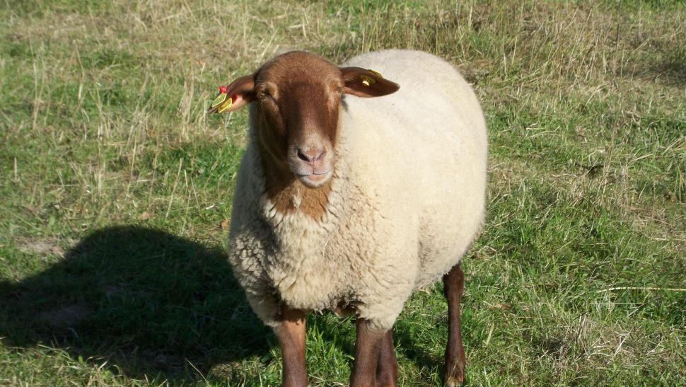 Download Free Stock HD Photo of Proud Sheep Online
