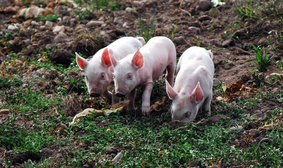 Download Free Stock HD Photo of Three Little Pigs Online