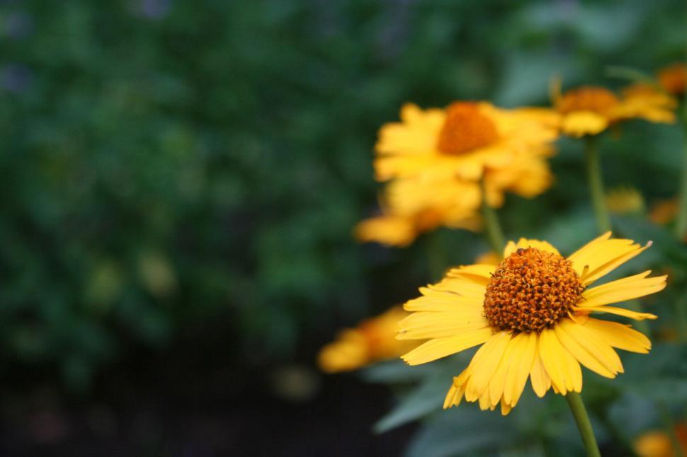 Download Free Stock HD Photo of Yellow Flower Helenium  Online