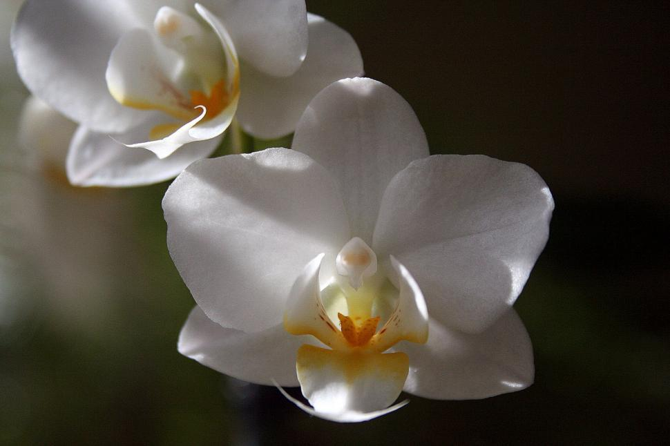 Download Free Stock HD Photo of White Orchid Flowers Online