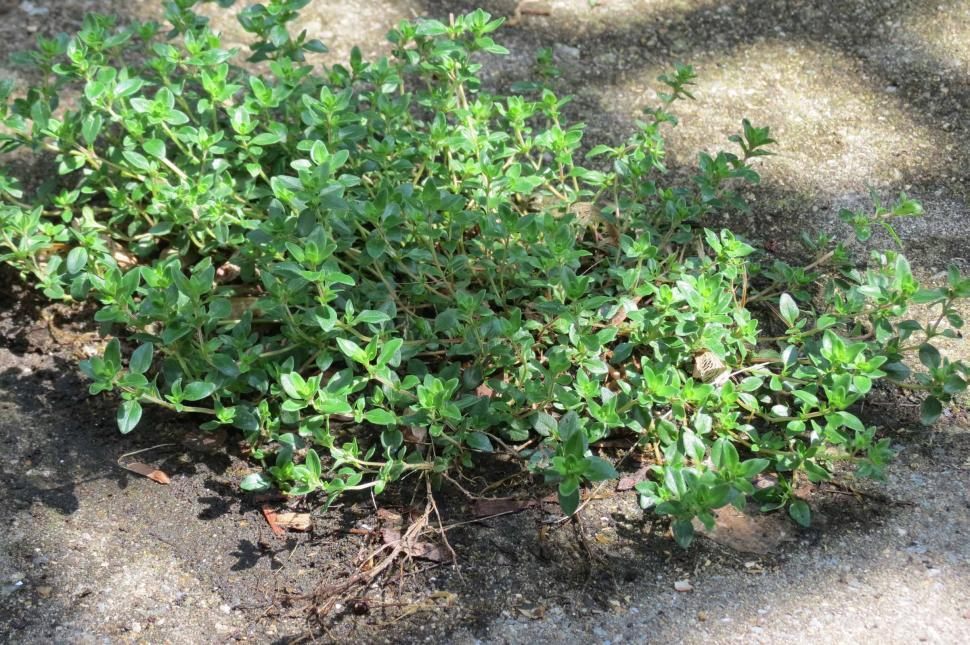 Download Free Stock HD Photo of Thyme  Online
