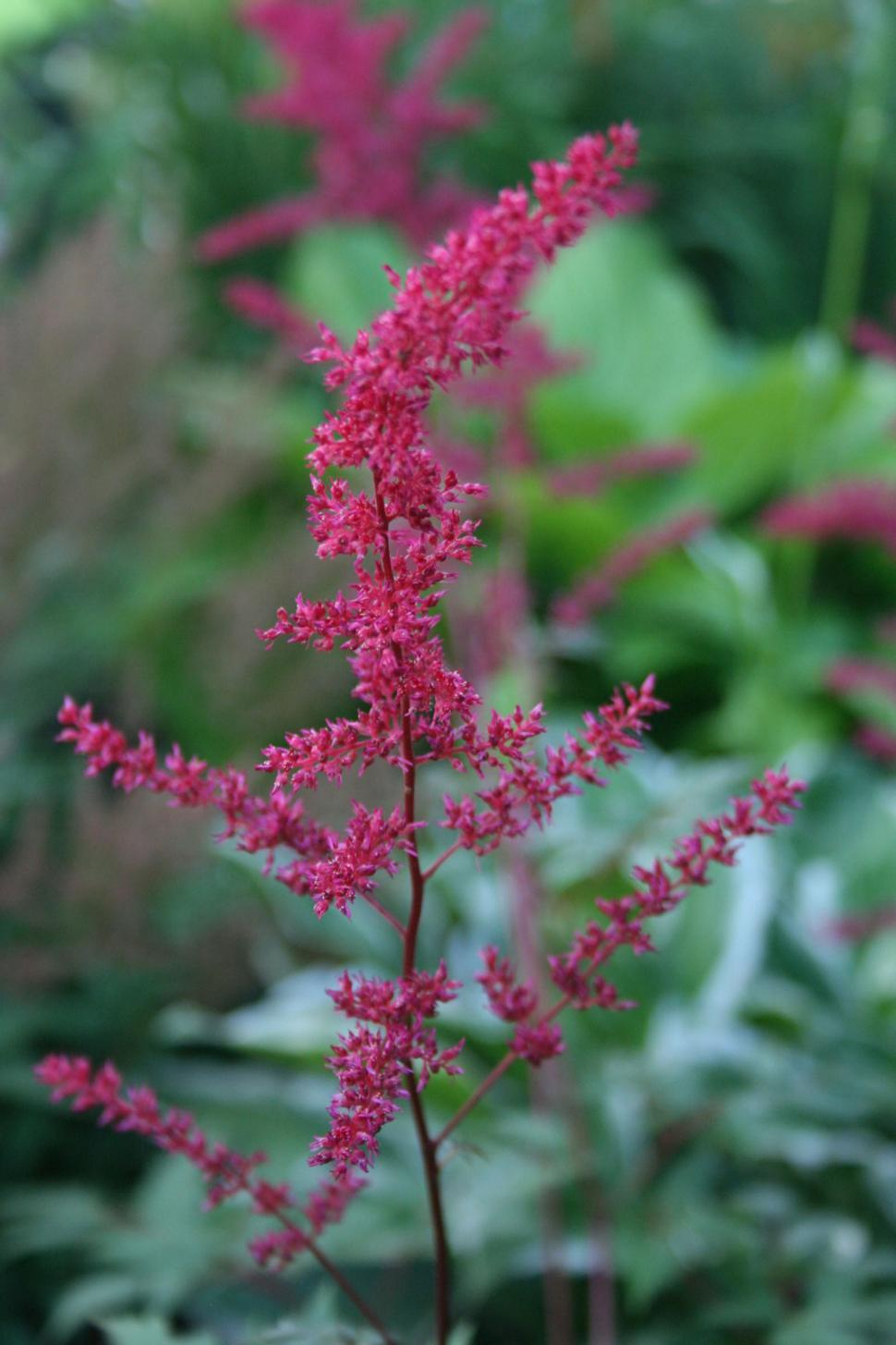 Download Free Stock HD Photo of Astilbe Flowers Clseup Online