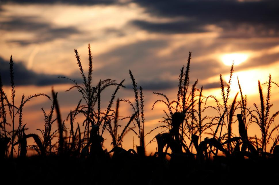 Download Free Stock HD Photo of the corn in the fall Online