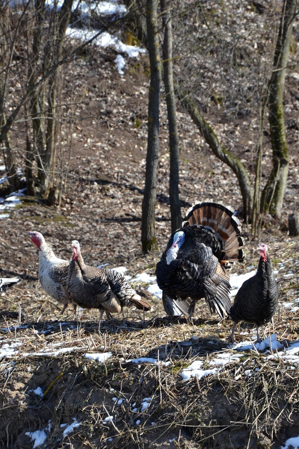 Download Free Stock HD Photo of Turkeys Online