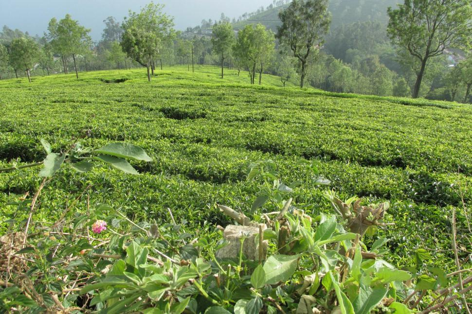 Get Free Stock Photos Of Green Tea Garden Online Download Latest Free Images And Free Illustrations