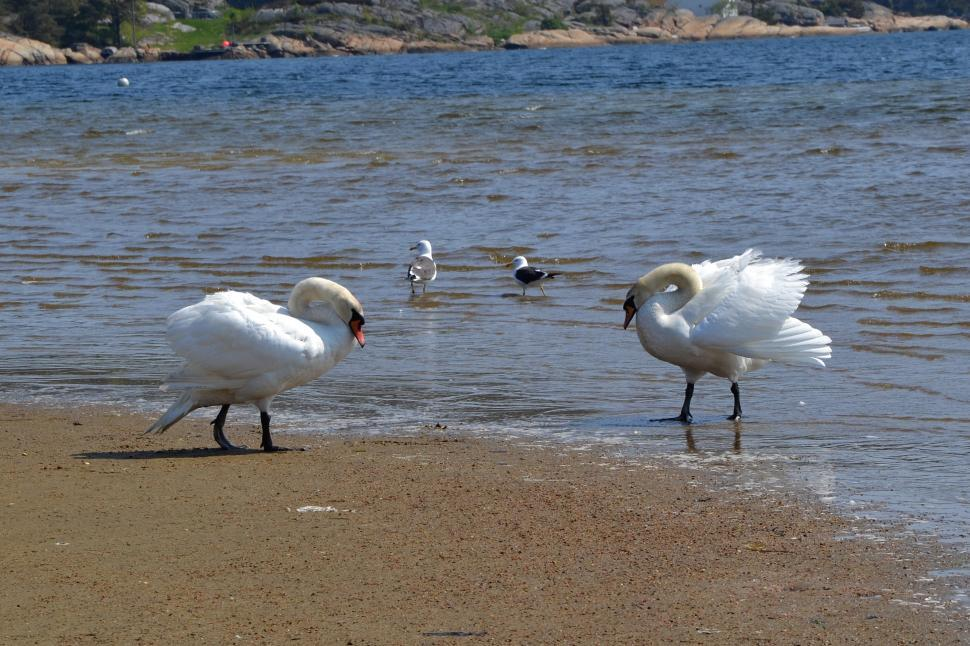 Download Free Stock HD Photo of Swans in the sea Online