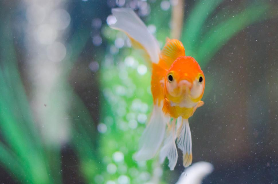 Download Free Stock HD Photo of Gold Fish Online