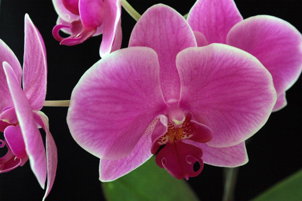 Download Free Stock HD Photo of Pink Moth Orchid Bloom on Black Background Online