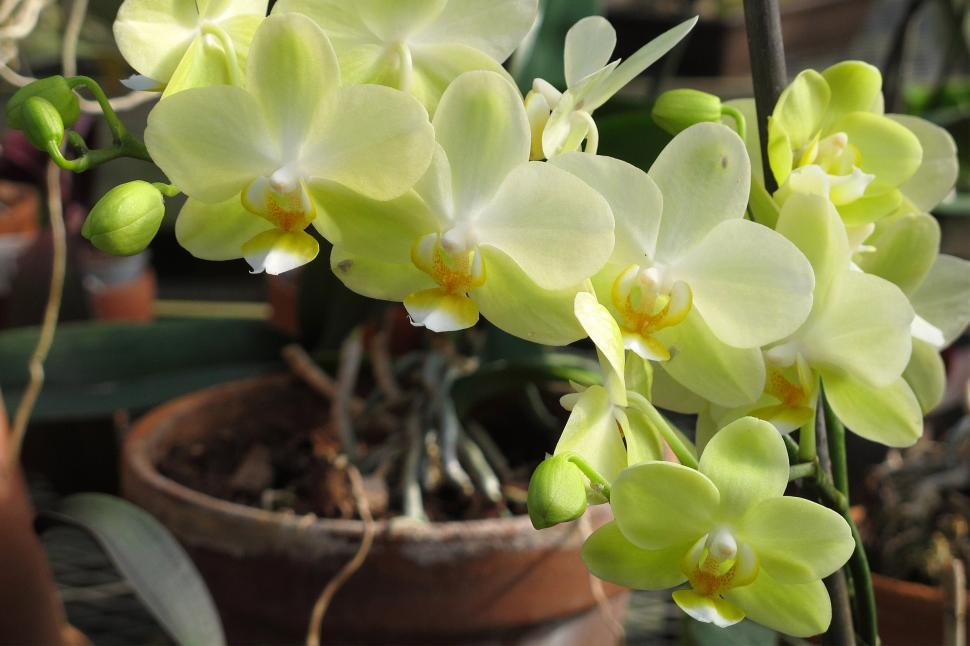 Download Free Stock HD Photo of Green Orchid Flowers Blooming In Greenhouse Online