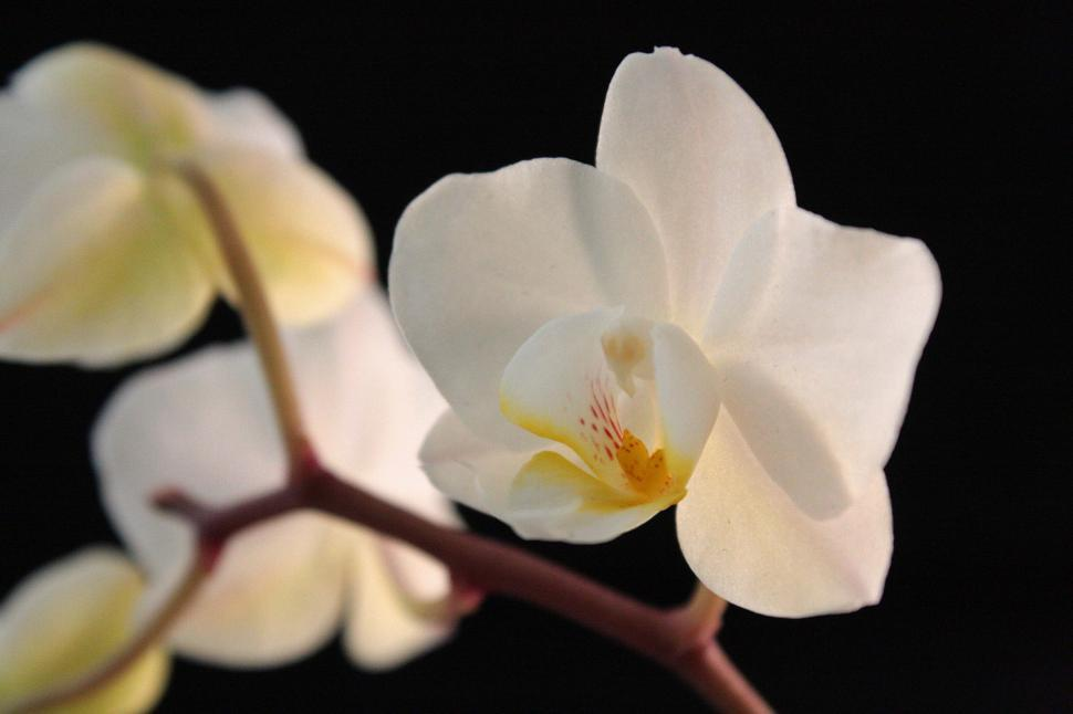 Download Free Stock HD Photo of White Orchid Single Flower Closeup Online