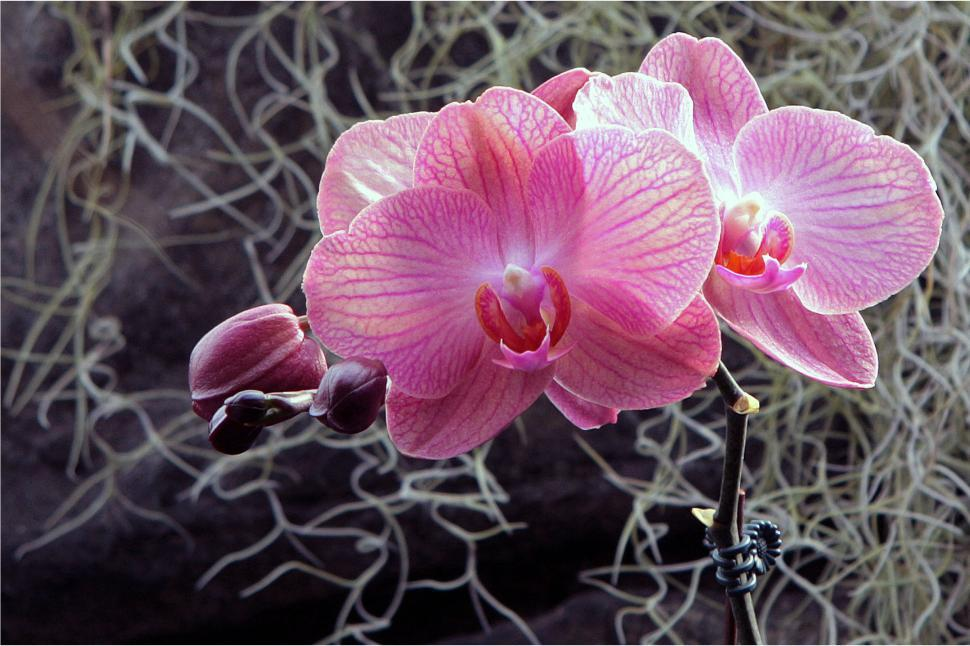 Download Free Stock HD Photo of Pink White Moth Orchid Blooms Online
