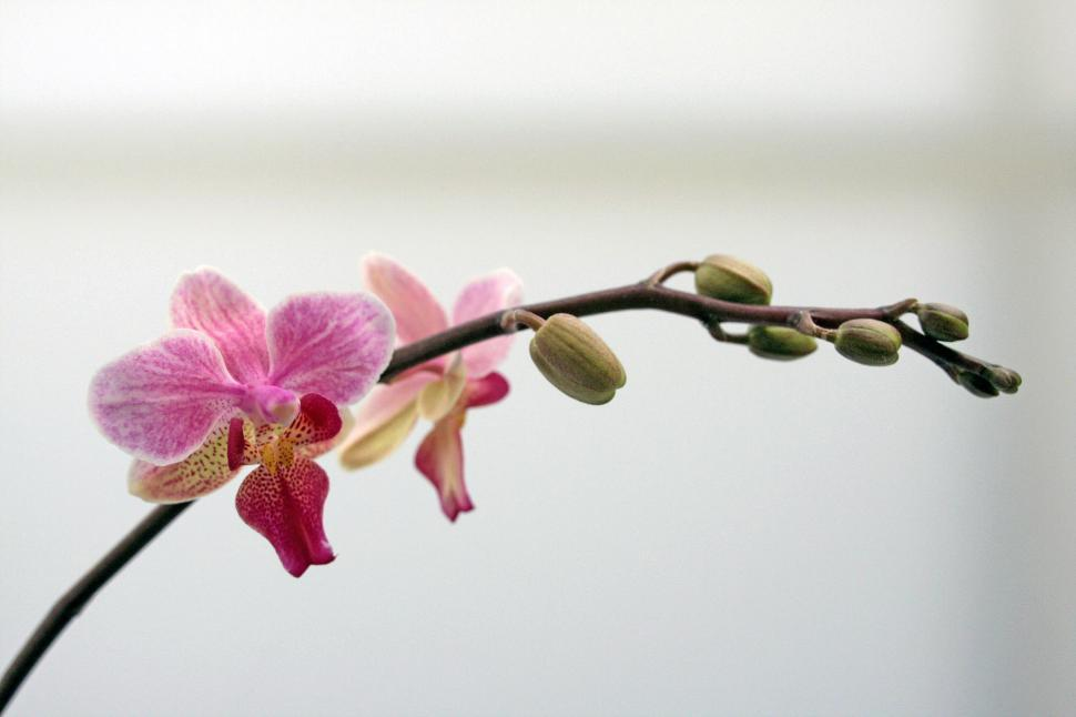 Download Free Stock HD Photo of Pink White Moth Orchid Bloom White Background Online