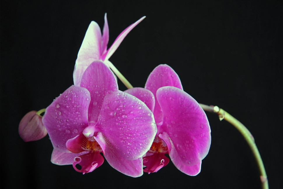 Download Free Stock HD Photo of Pink Orchid Bloom Water Droplets Black Background Online