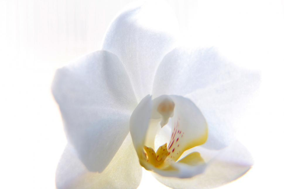 Download Free Stock HD Photo of White Orchid Flower Against White Background Online