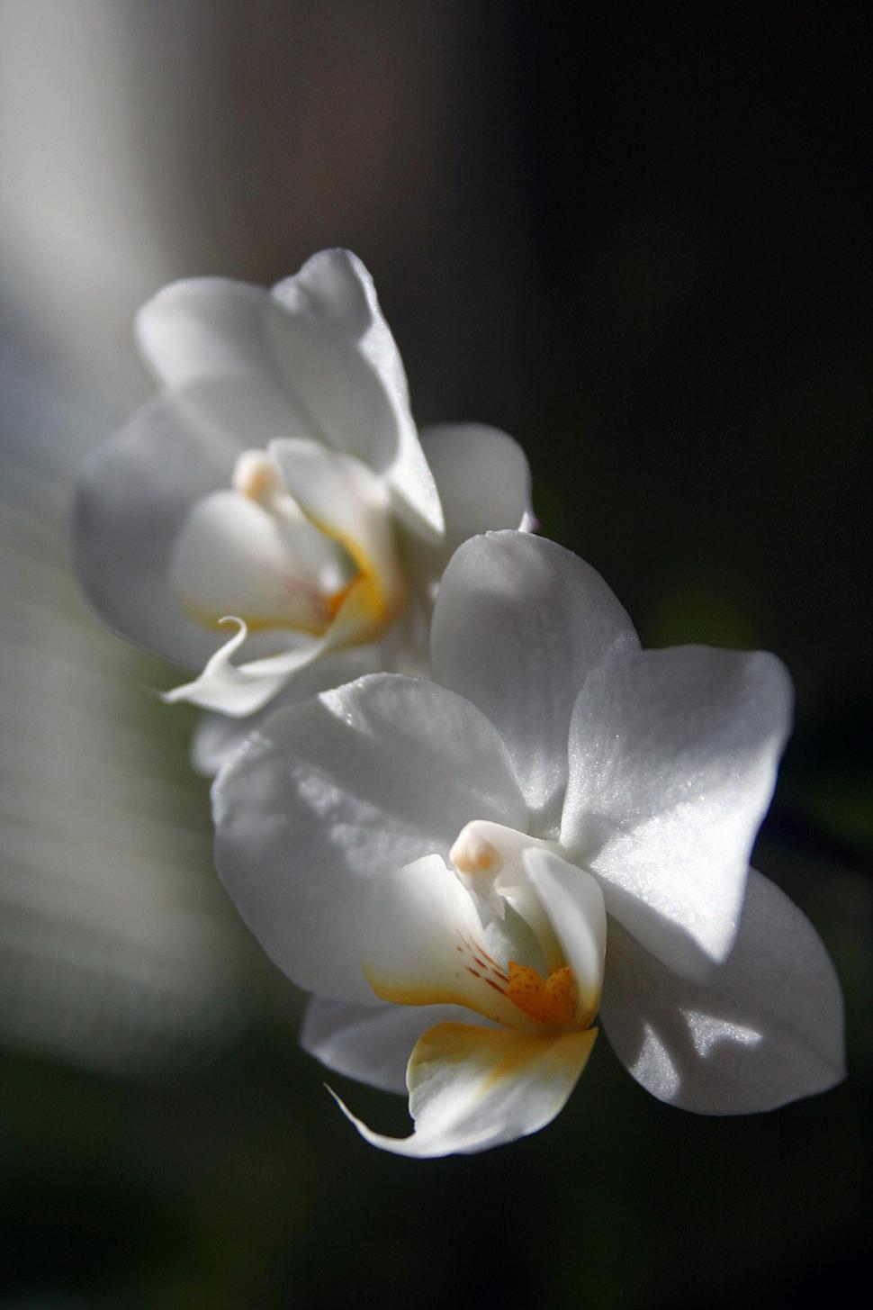 Download Free Stock HD Photo of White Orchid Flowers Against Dark Backdrop Online