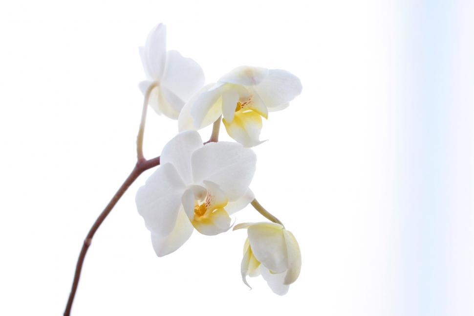 Download Free Stock HD Photo of White Orchid Flowers Against White Backdrop Online