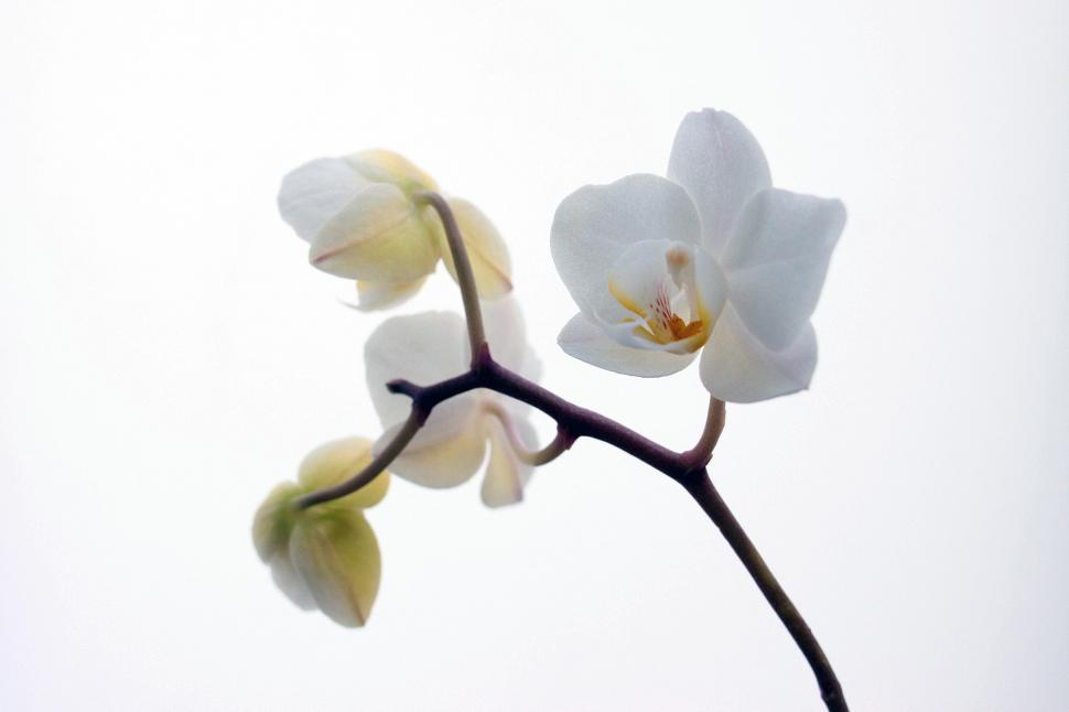 Download Free Stock HD Photo of White Orchid Flowers Against White Background Online