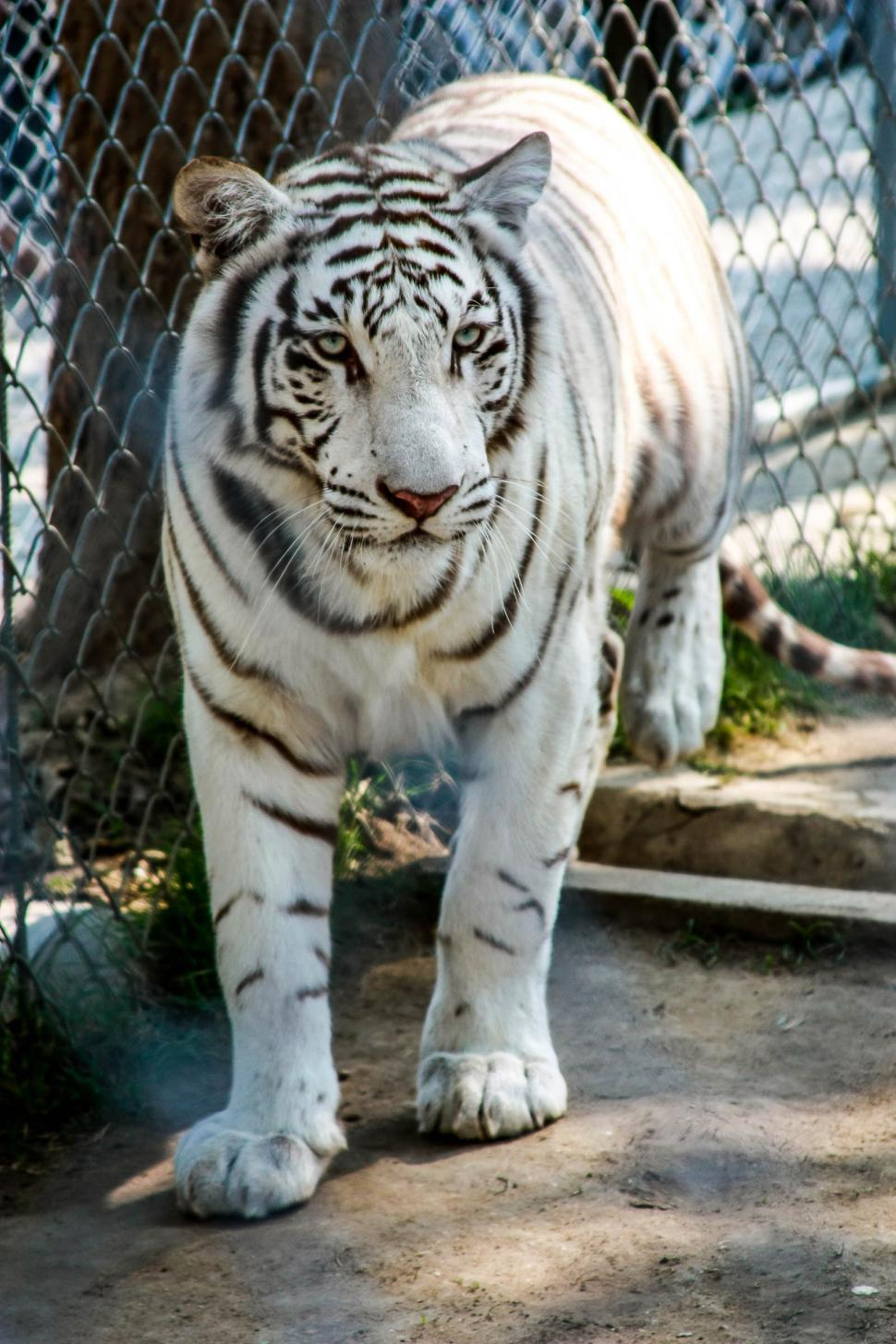 Download Free Stock HD Photo of White Tiger  Online