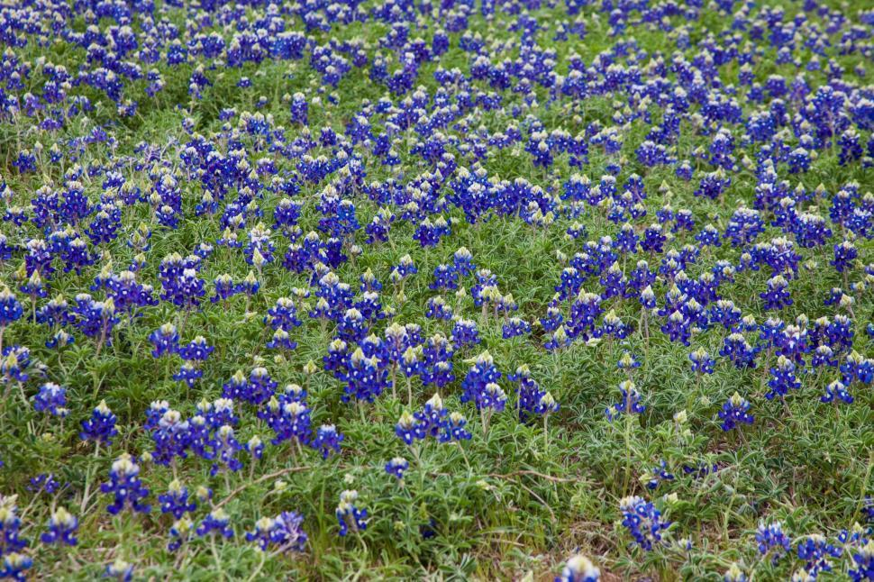 Download Free Stock HD Photo of Blue Bonnet flowers Online