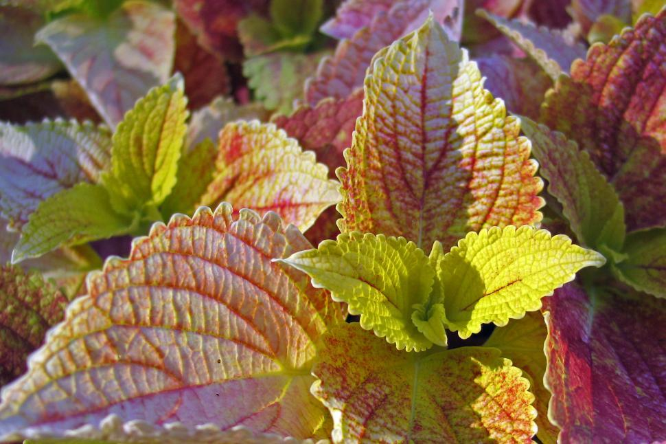 Download Free Stock HD Photo of Variegated Coleus Closeup For Backgrounds Online