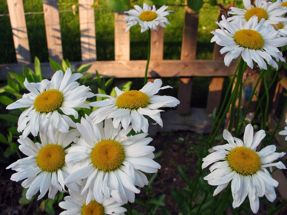 Download Free Stock HD Photo of Shasta Daisies Online
