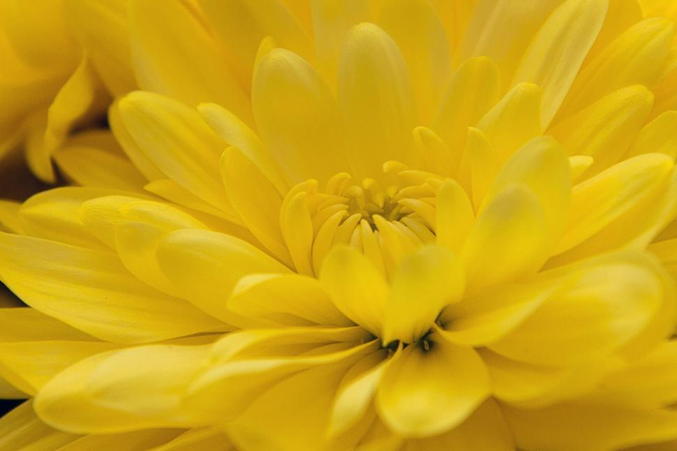Download Free Stock HD Photo of Yellow Chrysanthemums Closeup Online
