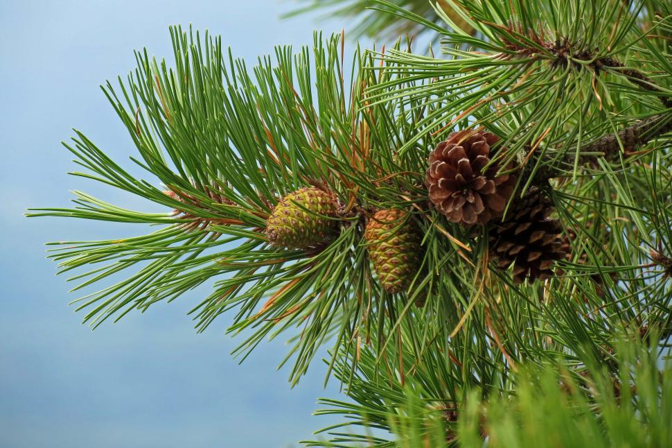 Download Free Stock HD Photo of Pine Cones On Tree Brench Online