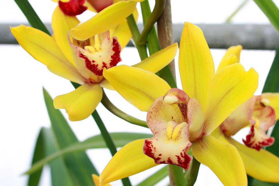Download Free Stock HD Photo of Flowers Of Yellow Orchids  Online