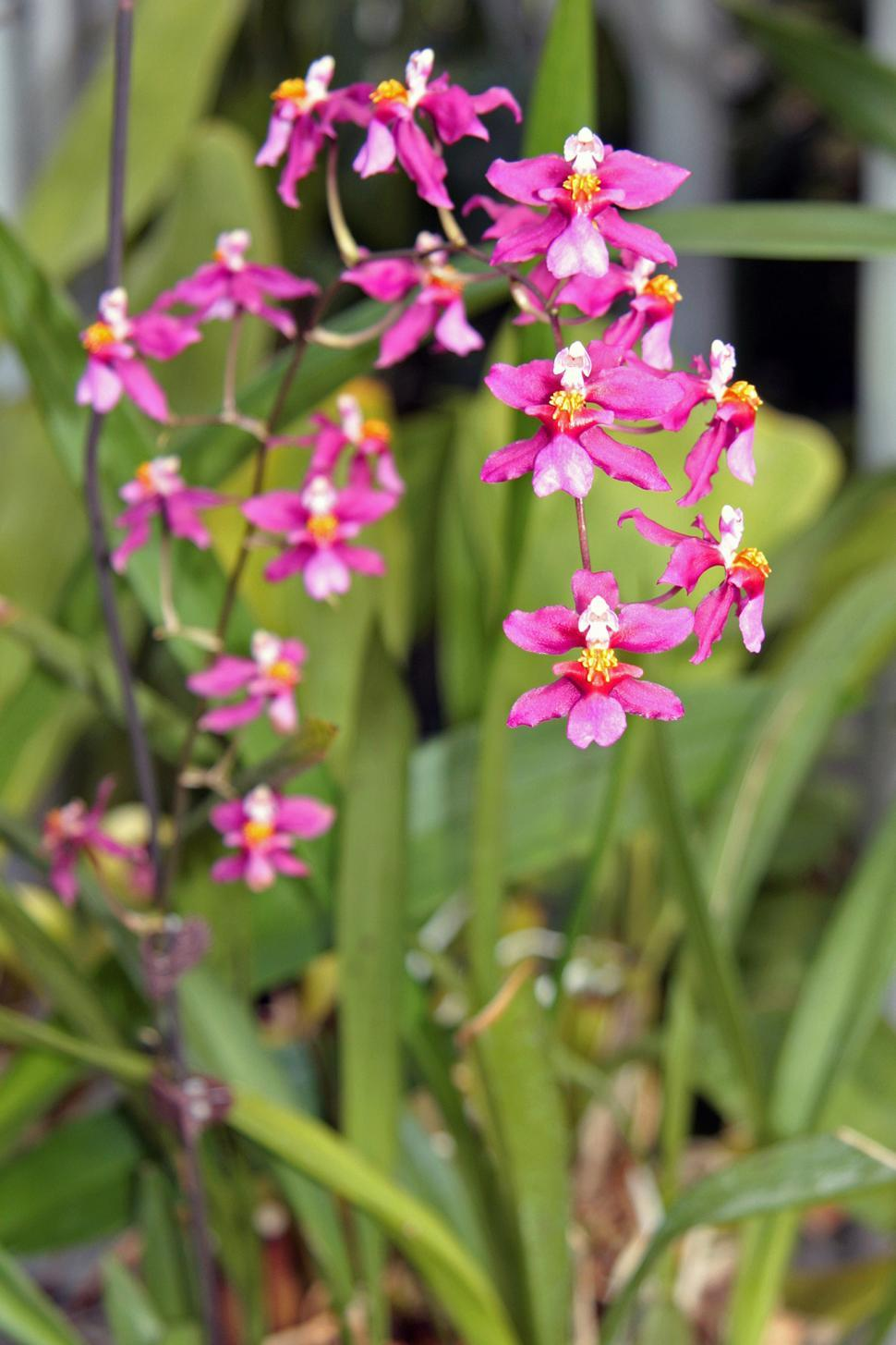 Free image of ncidium Twinkle Orchids in bloom inside Orchid House at Duke Farms, NJ.