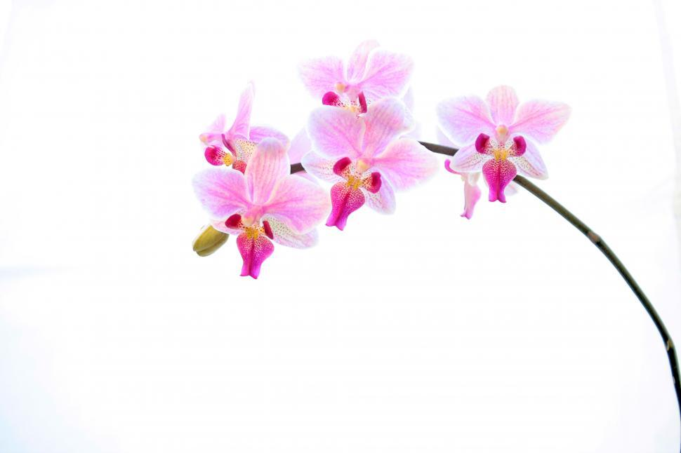 Download Free Stock HD Photo of Pink Phalaenopsis Orchid Flowers In Bloom Online