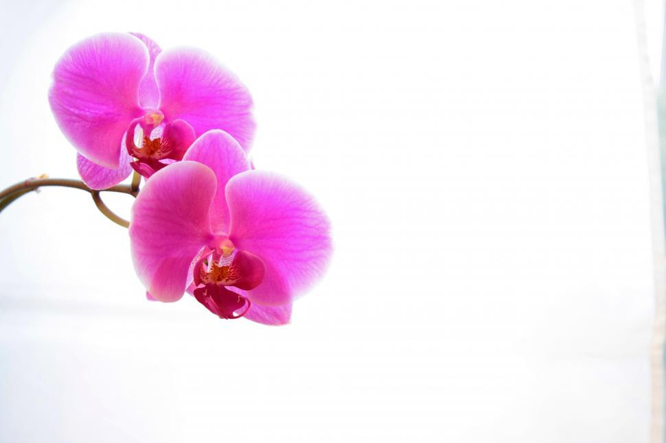 Download Free Stock HD Photo of Pink  Phalaenopsis Orchid In Bloom Online