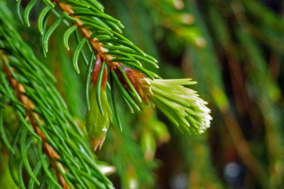 Download Free Stock HD Photo of Pine Needles, New Growth, Close-up  Online