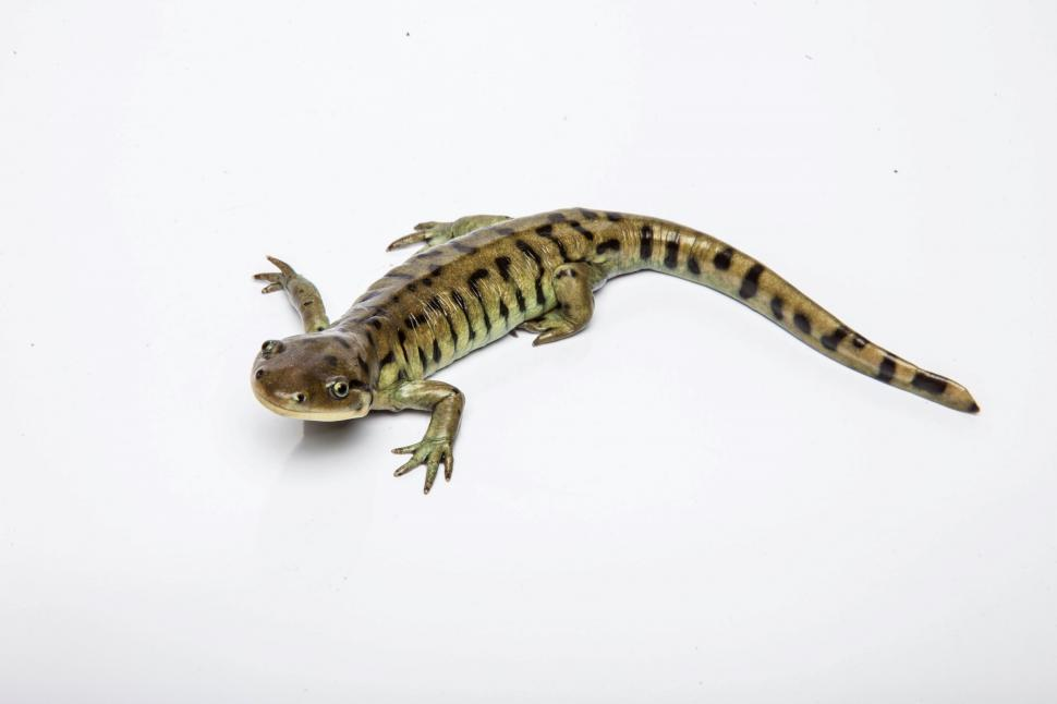 salamander white background - photo #43