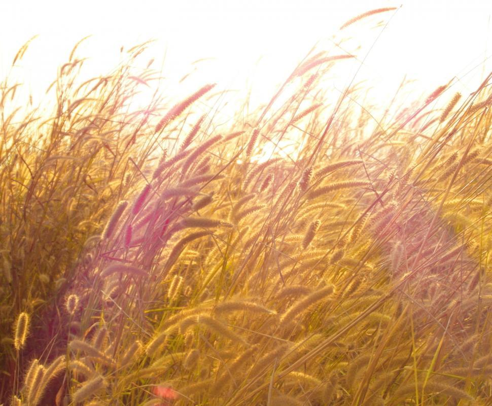 Download Free Stock HD Photo of Golden Grass Online