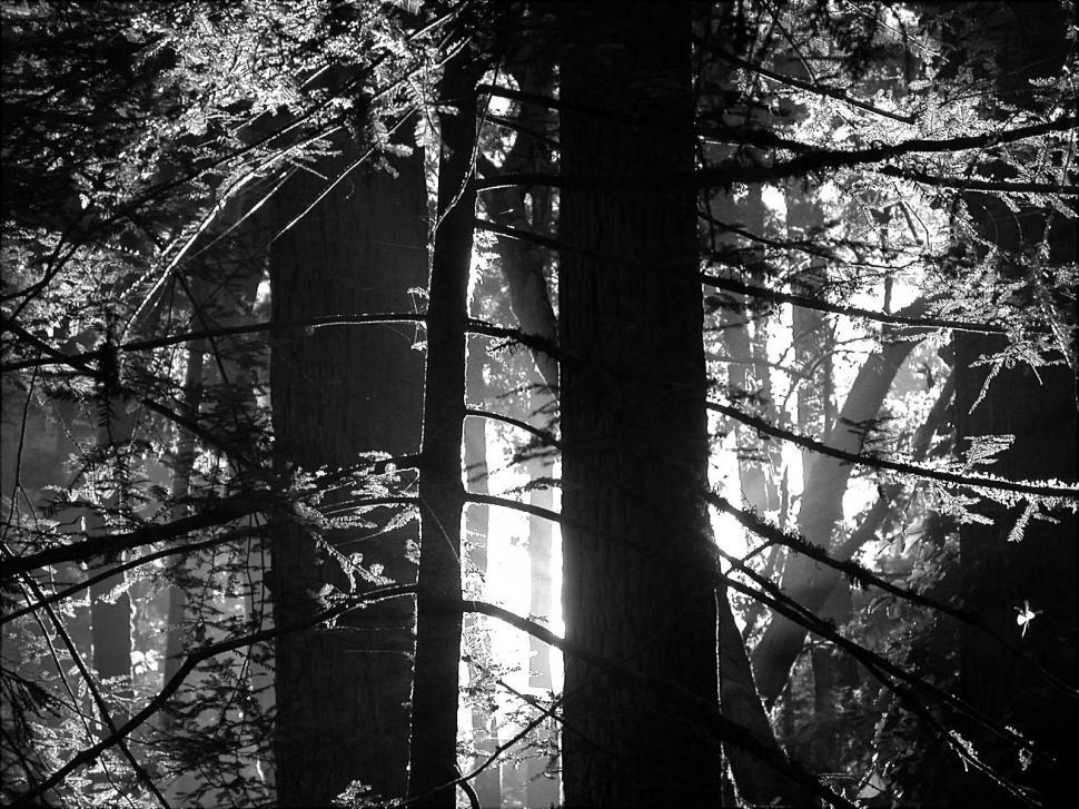 Download Free Stock HD Photo of Redwood in Black and White Online