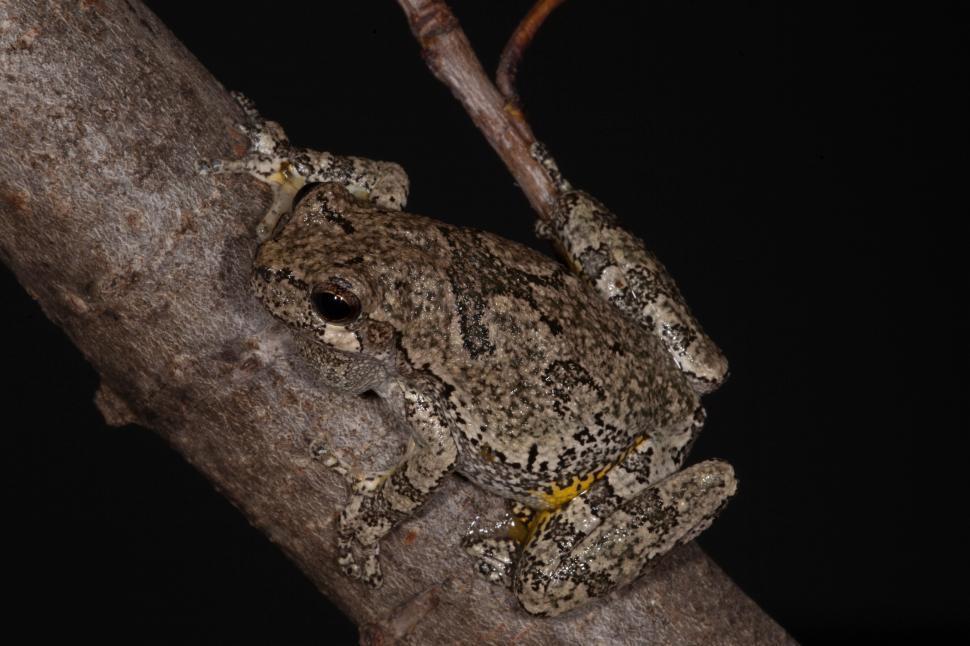 Download Free Stock HD Photo of Grey Treefrog Online
