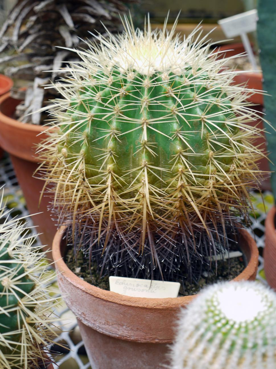 Download Free Stock HD Photo of Cacatus Plant Echinocactus Grusonii  Online