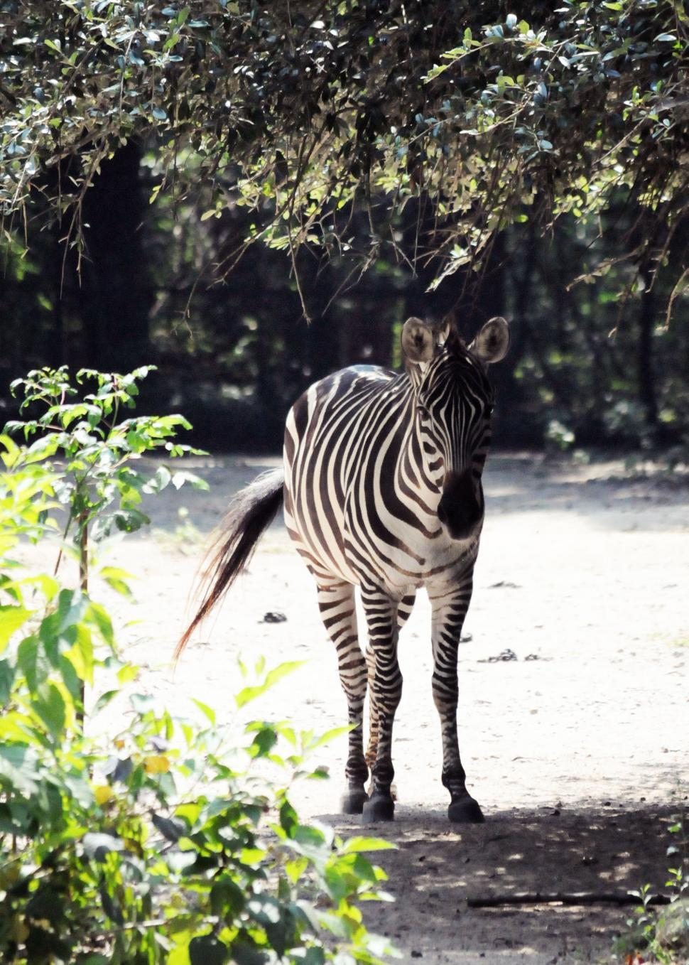 Download Free Stock HD Photo of Zebra Online