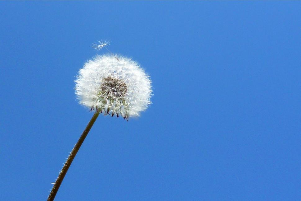 Download Free Stock HD Photo of Dandelion Seed Ball Online