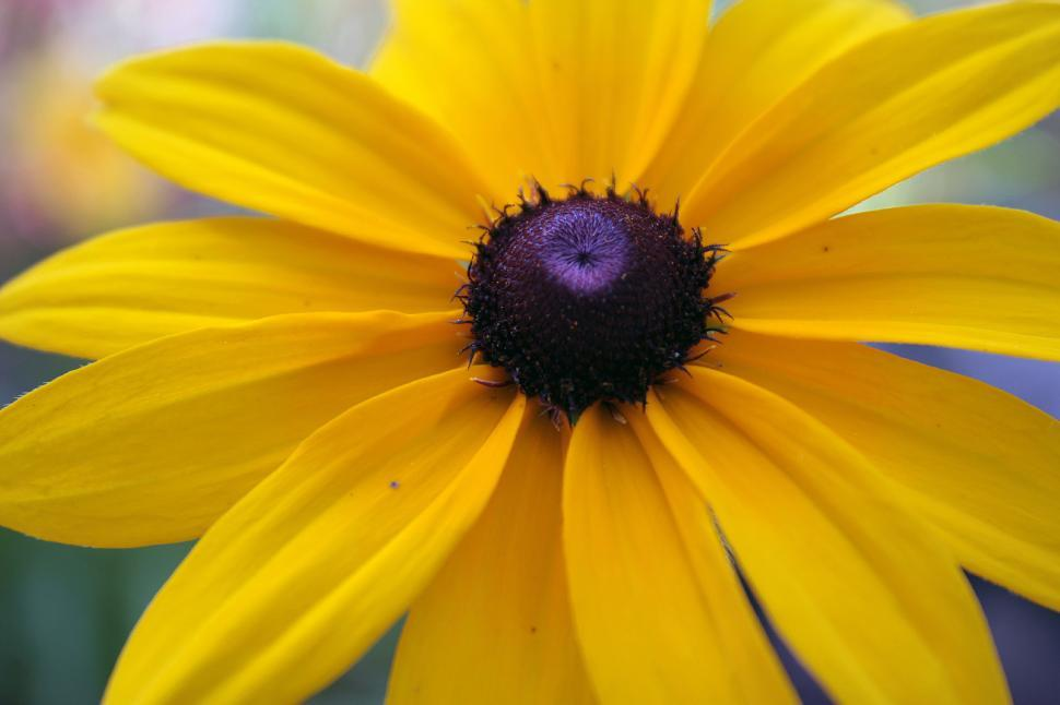 Download Free Stock HD Photo of Blackeyed Susan Flower Closeup Online