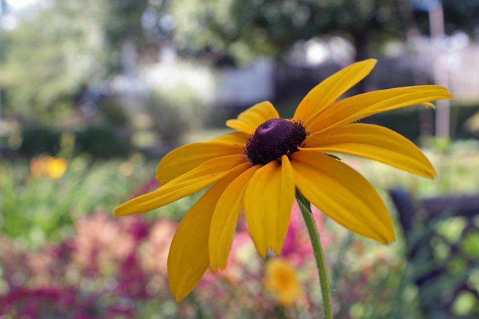 Download Free Stock HD Photo of Black Eyed Susan Flower Online