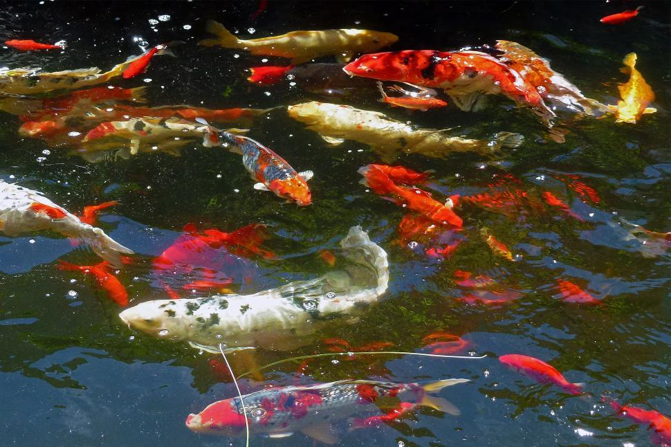 Download Free Stock HD Photo of Kois And Goldfish Swimming Online