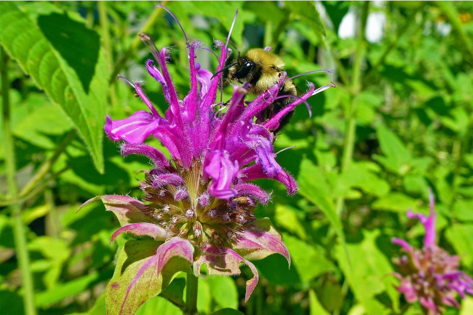 Download Free Stock HD Photo of Bee Balm Blossom With Bee Online